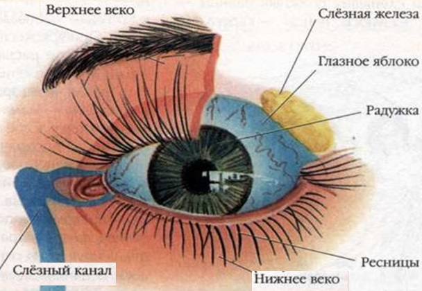 анатомия- глаза