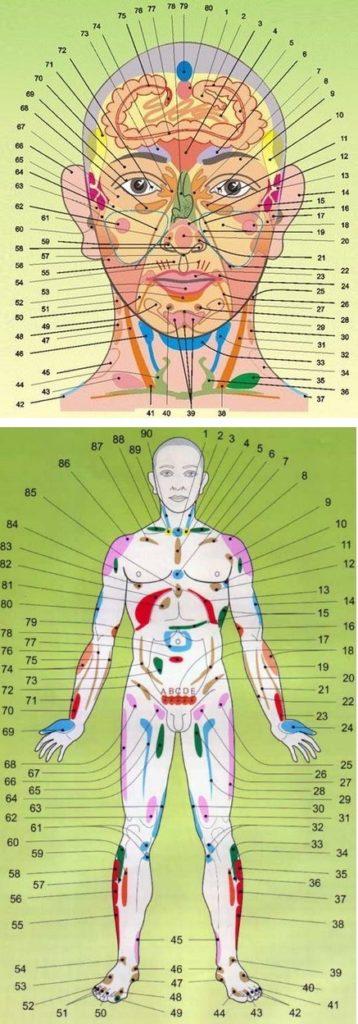Построение организма человека